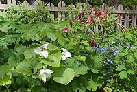 Trillium erectum forma albiflorum with Aquilegia, Myosotis, Buxus, picket fence, Podophyllum, Sanguinara foliage, Glaucidum, in spring garden planting combination bloom