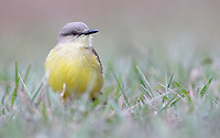 A Tropical kingbird hunts insects in the grass.