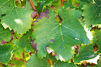 A merlot leaf - Château Pey la Tour, previously Clos de la Tour or de Latour, Bordeaux, France