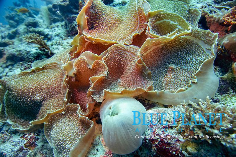 Disc anemone (Discosoma sp.) near Vakarufalhi, Ari Atoll, Maldives, Indian Ocean