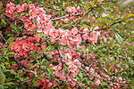 Quince at the Arnold Arboretum in the Jamaica Plain neighborhood, Boston, Massachusetts, USA