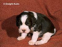 SH21-012z  Dog - English Springer puppies 11 weeks old