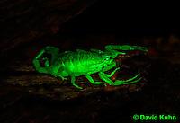 1122-0805  Bark Scorpion, Centruroides exilicauda © David Kuhn/Dwight Kuhn Photography