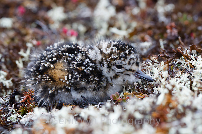 Red Knot (Calidris canutus rogersi) chick making a brief foray from its nest just after hatching. It will soon return to the nest to be warmed by that adult. Chukotka, Russia. June.