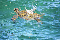 A healthy honu (or green sea turtle) splashes in the sunshine and warm Pacific Ocean near Puna, island of Hawai'i.