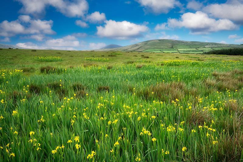 Wild Iris in pasture on Slea Head Drive. County Kerry, Ireland