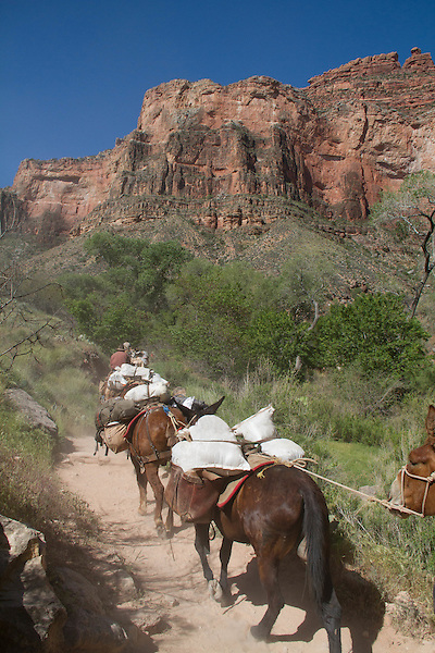 Cowboy leading mules on the Bright Angel Trail from Phantom Ranch to the South Rim of the Grand Canyon, Grand Canyon National Park, Arizona. . John offers private photo tours in Grand Canyon National Park and throughout Arizona, Utah and Colorado. Year-round.