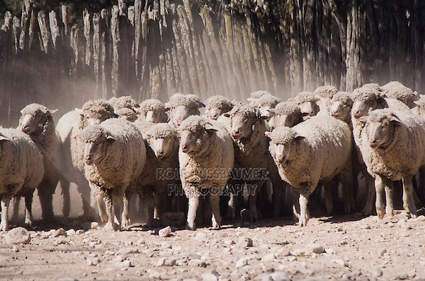 Domestic Sheep, Sheep shearing, herding sheep,Hill Country, Texas, USA, April 2007