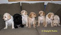 SH38-506z Lab Puppies - Genetic variation, Black, Yellow and White, 6 weeks old..