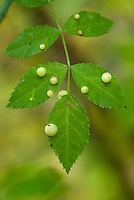 Gal op roos van galwesp (Diplolepis egelanteriae)