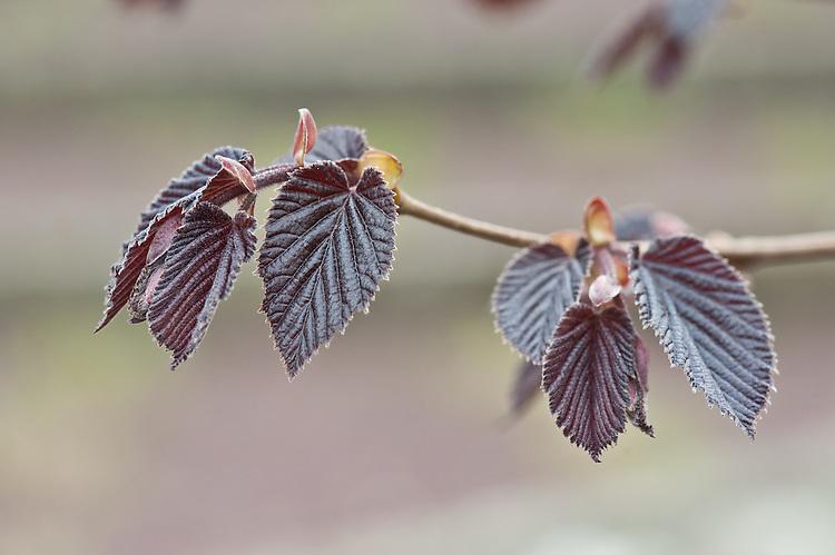 New foilage of purple-leaved filbert (Corylus maxima 'Purpurea'), early April.
