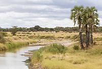 Tanzania.  Tarangire National Park. Scenic Landscape with Doum Palms (Hyphaene compressa).