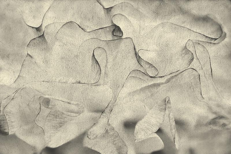 Close up of Ranunculus flower. Oregon