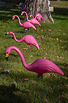 Pink flamingoes in Bethel, Maine, USA