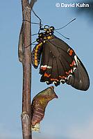 1021-0808    Polydamas swallowtail Recently Emerged from Chrysalis (Life Cycle Series), Battus polydamus  © David Kuhn/Dwight Kuhn Photography
