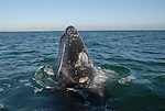 Gray whales spy-hopping