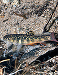 Eastern Brook Trout fry/Parr, vertical