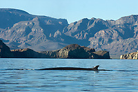 Fin whale (balaenoptera physalus) The typical view of a fin whale. Gulf of California., Baja California, Mexico, Pacific Ocean