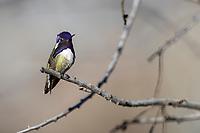 Costa's Hummingbird (Calypte costae), male resting in Desert Meadows Park, Green Valley, Arizona.