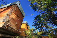 Around the hives, an apocalyptic aerial ballet takes place every day. It means a massacre of  the bees. In relays, 4 to 5 hornets hunt non-stop around each hive, proving fatal to the bees. A foraging bee is devoured each minute, that's 1000 foraging bees per day.///Autour des ruches, un ballet aérien apocalyptique se déroule chaque jour. C'est l'hécatombe pour les abeilles. 4 à 5 frelons chassent constamment autour de chaque ruche dans un relai mortel pour les abeilles. Une butineuse est dévoré par minute. Soit près de 1000 butineuse par jour.