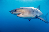 great white shark, Carcharodon carcharias, Dyer Island, Gansbaai, Western Cape, South Africa