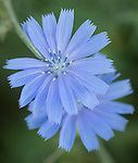 Chicory wildflower