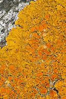Gewöhnliche Gelbflechte, Gelbe Wandflechte, Goldgelbe Wandflechte, Gelbe Wandschüsselflechte, Flechte auf einem Felsen an der Ostsee-Küste, Xanthoria parietina, Parmelia parietina, common orange lichen, yellow scale, maritime sunburst lichen, shore lichen, golden shield lichen