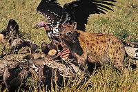 Spotted Hyena (Crocuta crocuta) and Lappet-faced vulture (Aegypius tracheliotus) share remains of carcass on the Serengeti Plains of Tanzania.