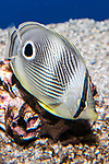four-eye butterflyfish swimming 45 degrees to camera, vertical