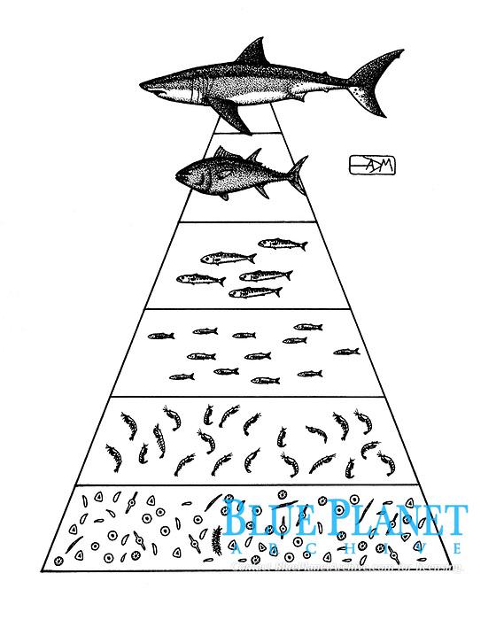 Pyramid of biomass with great white shark, Carcharodon carcharias, Atlantic bluefin tuna, Thunnus thynnus, Atlantic mackerel, Scomber scombrus, European anchovy, Engraulis encrasicolus, zooplankton, phytoplankton, pen and ink illustration.