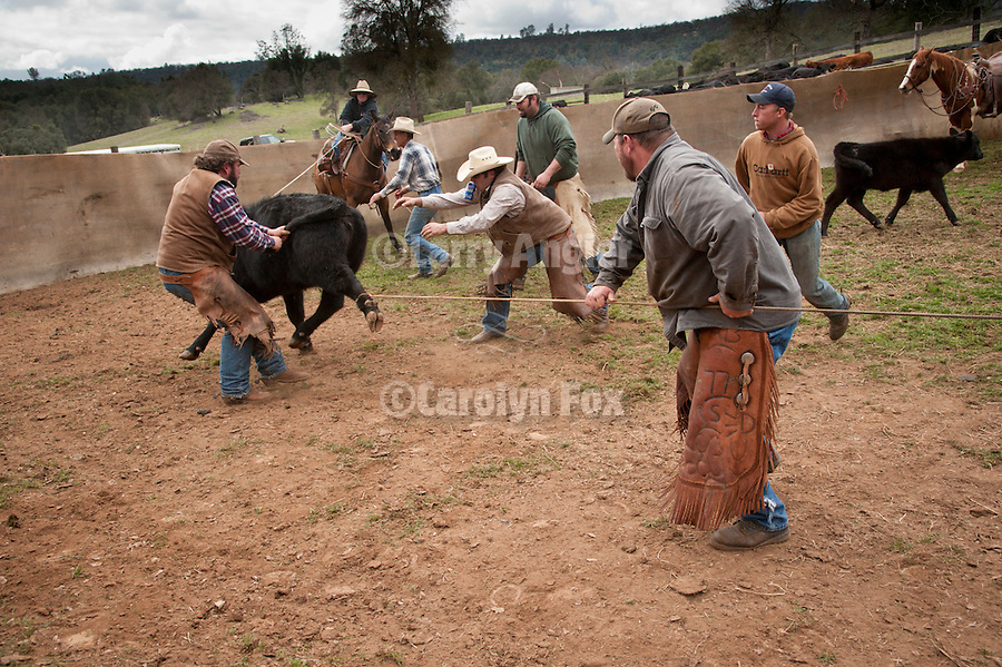 Spring branding and calf marking at the Lavaggi Ranch in the Sierra Nevada Foothills near Plymouth, California..