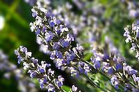 Sage flowers