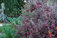 Grevillea flowering in Arlington Garden, Pasadena