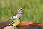 Female American goldfinch with female purple finch in background