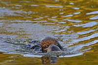 Sea Otter (Enhydra lutris) mother moving young pup across sheltered cove.