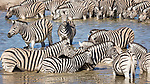 Zebra Drink And Cool Down At A Waterhole.