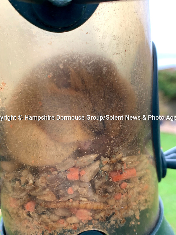 "A hungry dormouse thought it had hit the jackpot after managing to get into a bird feeder - before it dozed off and got stuck inside.  The chubby creature had crawled into the hanging feeder to fatten up before it went into hibernation.<br /> <br /> The Hampshire Dormouse Group advised the Isle of Wight resident who spotted the adorable nocturnal animal to ease it out and release it into a hedgerow.  Catherine Hadler, a member of the group, and National Trust Ranger said: ""This time of year they are normally fattening up for hibernation.   SEE OUR COPY FOR DETAILS.<br /> <br /> Please byline: Hampshire Dormouse Group/Solent News<br /> <br /> © Hampshire Dormouse Group/Solent News & Photo Agency<br /> UK +44 (0) 2380 458800"