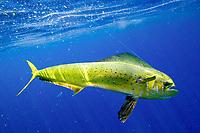 mahi mahi, dolphin fish, or dorado, Coryphaena hippurus, on fishing line, Big Island, Hawaii, USA, Pacific Ocean