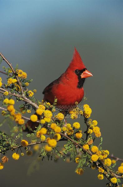 Northern Cardinal, Cardinalis cardinalis,male on blooming Huisache (Acacia farnesiana), Lake Corpus Christi, Texas, USA, April 2003