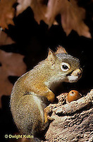 MA07-037z  Red Squirrel - sitting by tree cavity with acorns - Tamiasciurus hudsonicus