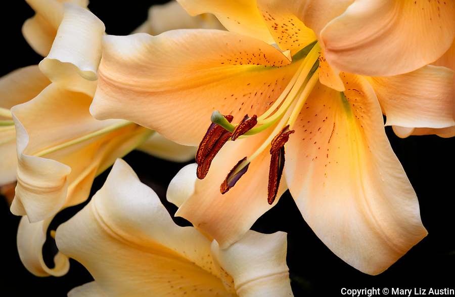 Vashon-Maury Island, WA: Close up of 'Eudoxia' - Orienpet Hybrid Lily