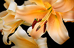 Vashon-Maury Island, WA: Close up of 'Eudoxia' - Orienpet Hybrid Lily