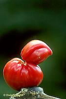 HS09-012e  Tomato - funny shaped tomato