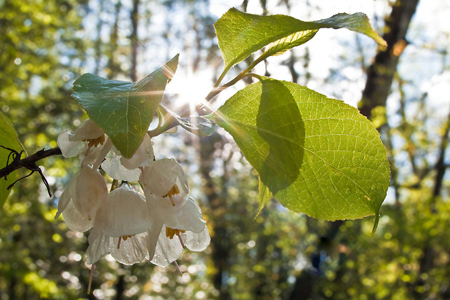 Mountain Silverbell (Halesia tetraptera) and sunstar, Sumpter National Forest