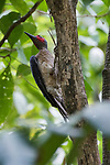 Tangkoko Nature Reserve, North Sulawesi, Indonesia; a male Ashy Woodpecker (Mulleripicus fulvus) clings to the side of a small tree