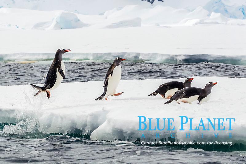 gentoo penguin, Pygoscelis papua, adult, leaping onto the fast ice, Enterprise Island, Antarctica, Southern Ocean