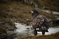 Juvenile Bald Eagle, Homer, Alaska.