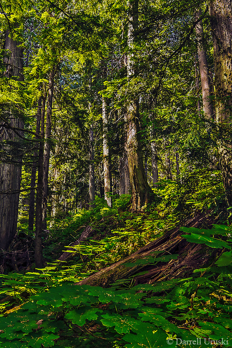 Fine Art Forest Scenic of Giant Cedar trees near Revelstoke in British Columbia, Canada.
