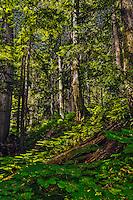Fine Art Forest Scenic of Giant Cedar trees near Revelstoke in British Columbia, Canada.