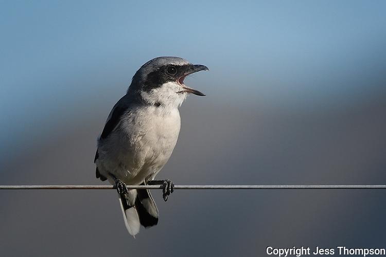 Loggerhead Shrike, Texas roadside